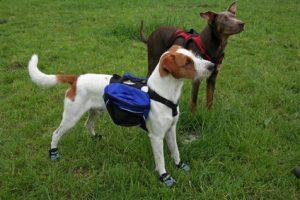 Jack Russell Terrier mit Hundebag
