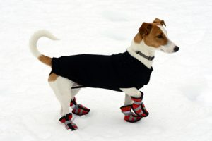 Cute little terrier wearing snow shoes on all four paws for protection and a warm coat against the cold winter weather standing on fresh snow looking alertly off to the right